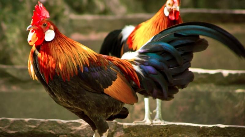 Bài văn tả con gà trống số 2