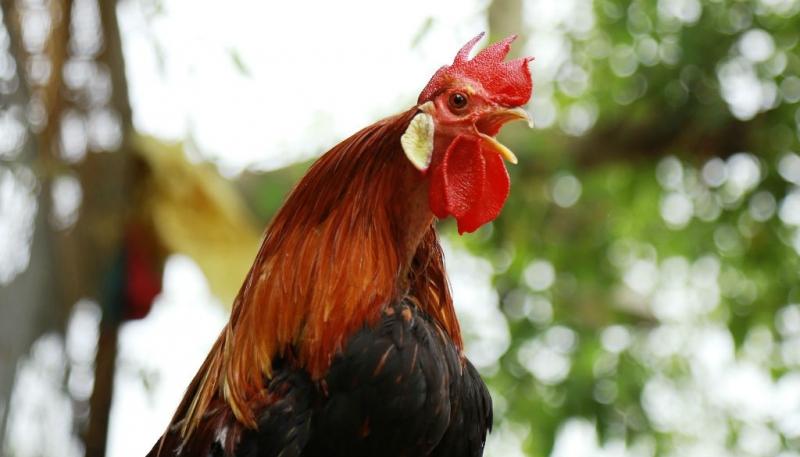 Bài văn tả con gà trống số 14
