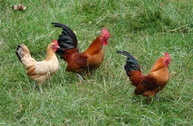 Bài văn tả con gà trống số 16