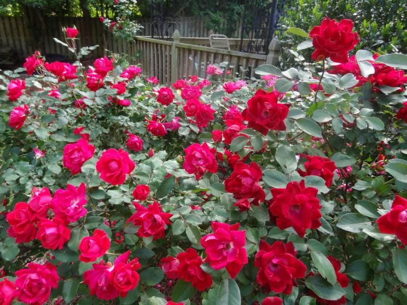 Bài văn tả hoa hồng số 3