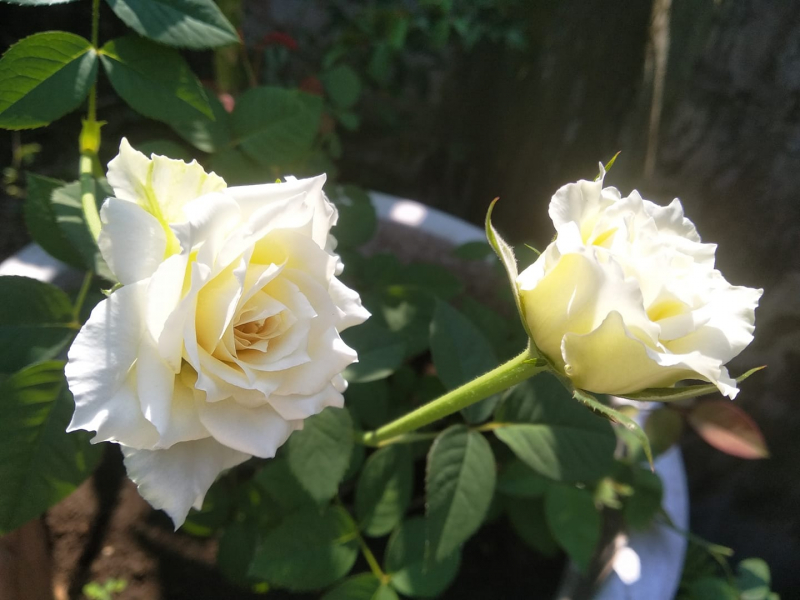 Bài văn tả hoa hồng số 4