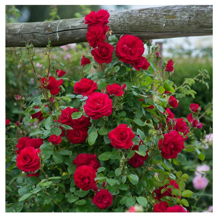 Bài văn tả hoa hồng số 5