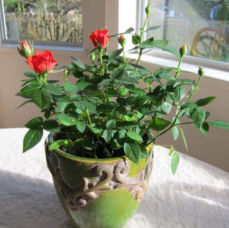 Bài văn tả hoa hồng số 9