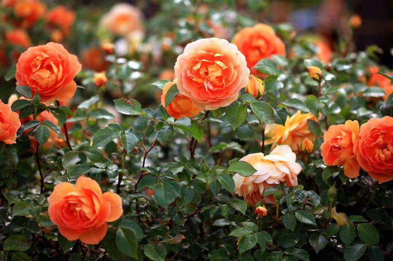 Bài văn tả hoa hồng số 11
