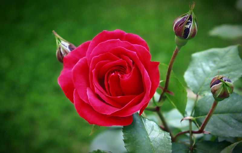 Bài văn tả hoa hồng số 12