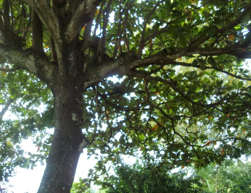 Bài văn thuyết minh, biểu cảm về cây bàng số 4
