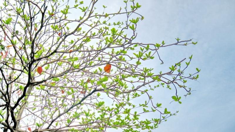 Bài văn thuyết minh, biểu cảm về cây bàng số 5