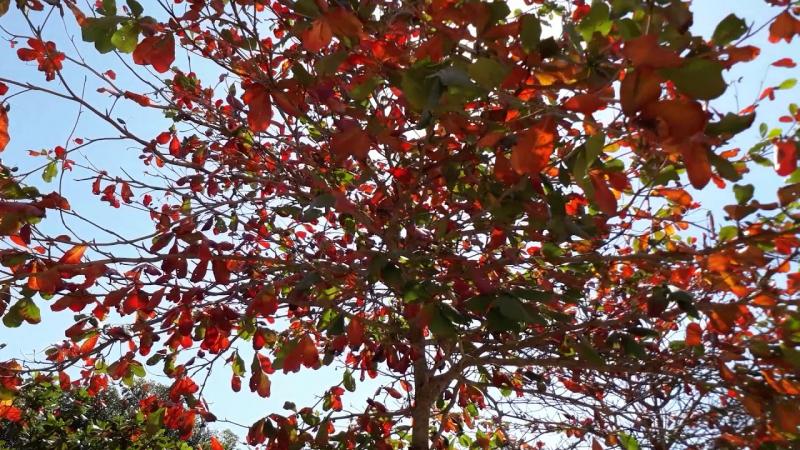 Bài văn thuyết minh, biểu cảm về cây bàng số 6