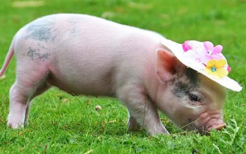 Bài văn thuyết minh về con lợn (con heo)