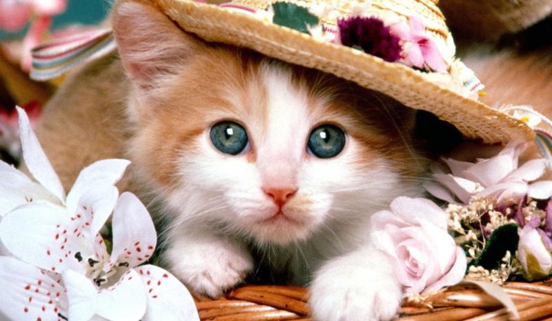 Bài văn thuyết minh về con mèo