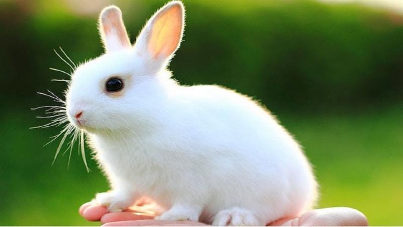 Bài văn thuyết minh về con thỏ