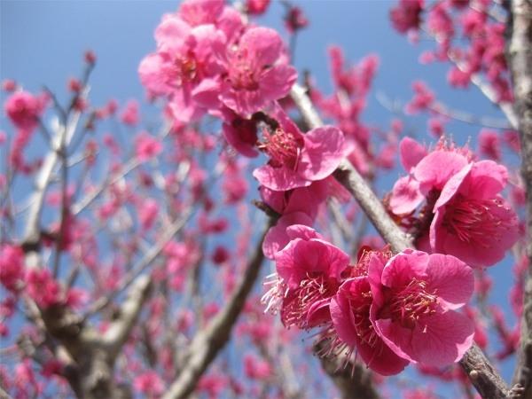 Cây hoa đào ngày Tết
