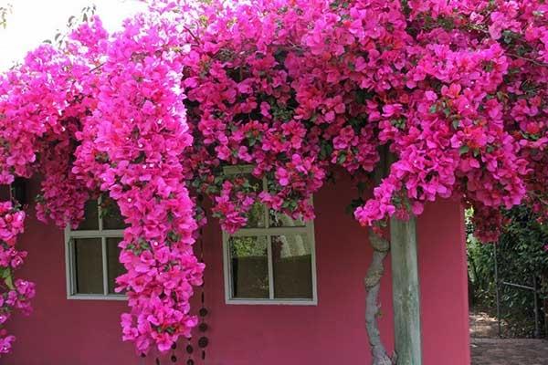 Cây hoa giấy đẹp lung linh trước cửa sổ