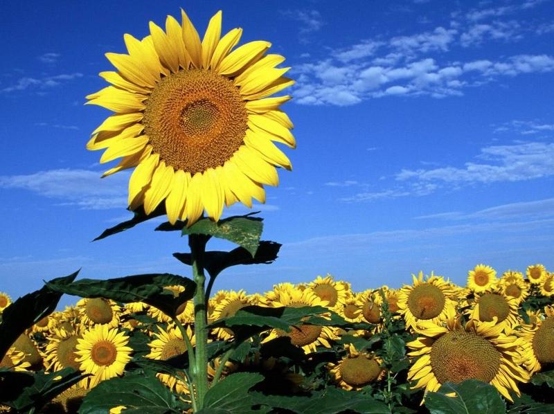 Cây hoa mặt trời