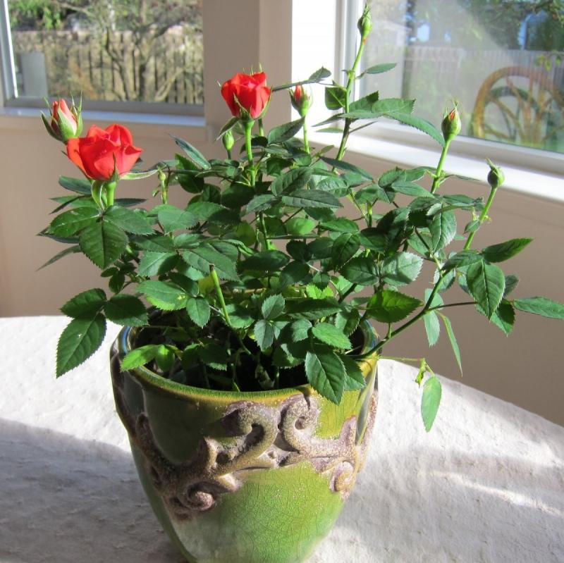 Chậu hoa hồng của mẹ em