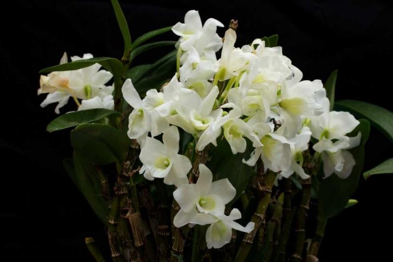 Giỏ phong lan trắng của ba