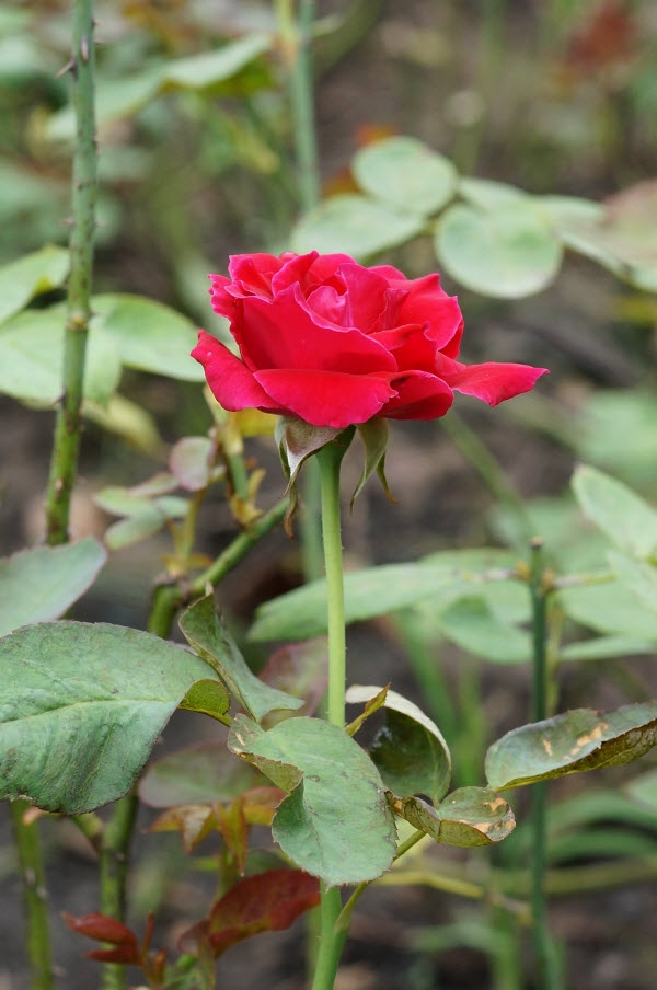 Khóm hồng trong khu vườn của bà