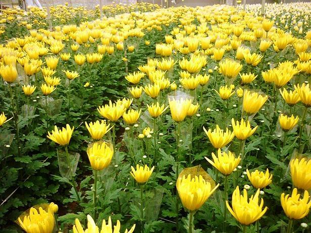 Mùa thu vàng hoa cúc