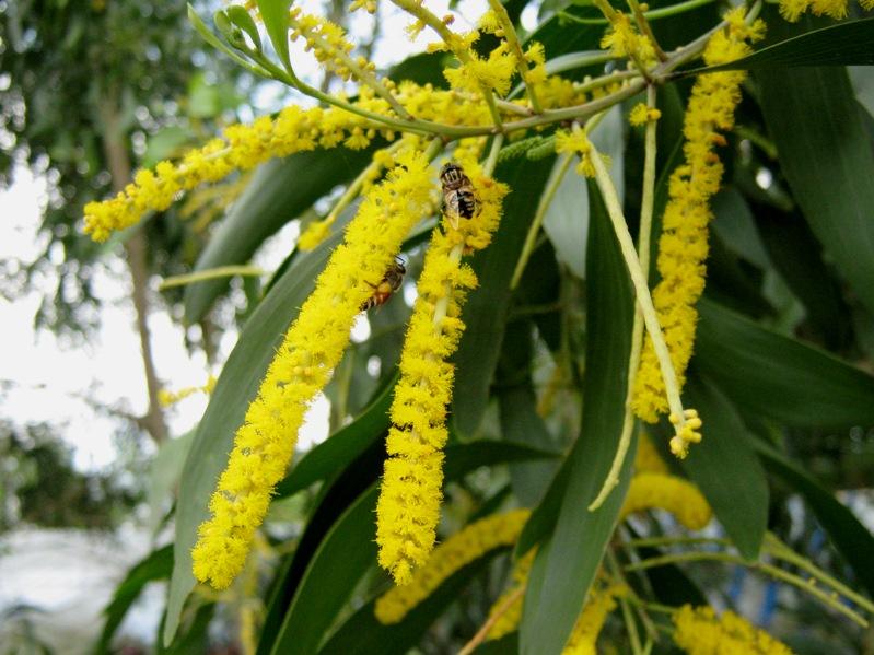 Tả cây tràm gió mùa hoa