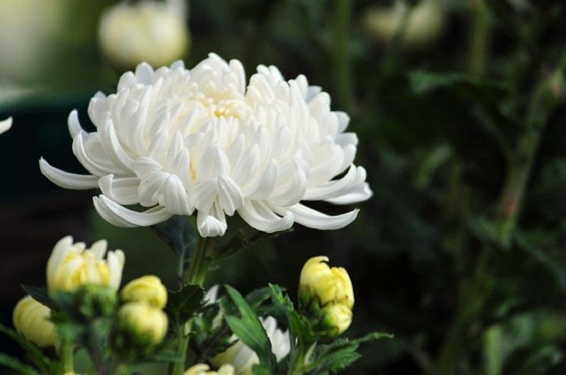 Tả hoa cúc trắng