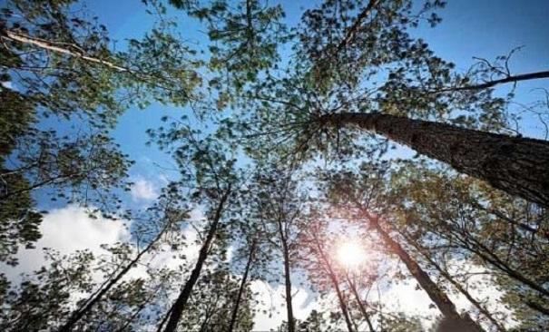 Bài văn phân tích hình tượng rừng xà nu số 11