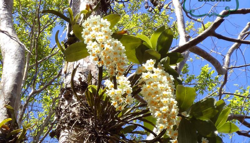 Bài văn tả hoa lan số 2