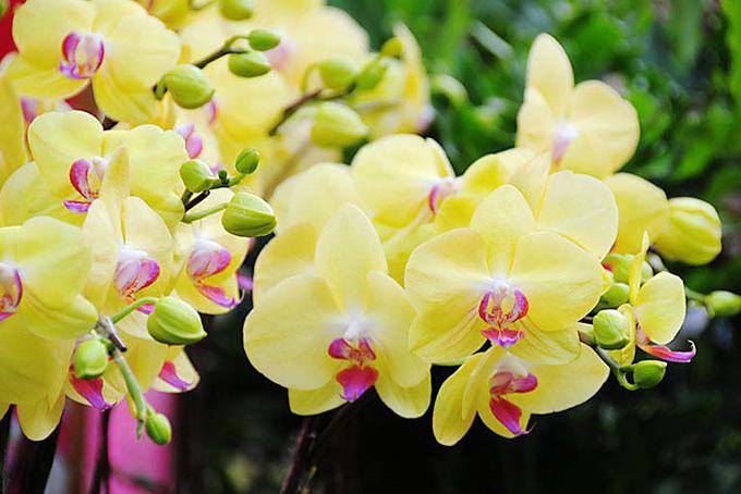 Bài văn tả hoa lan số 4
