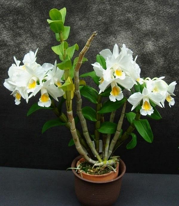 Bài văn tả hoa lan số 6