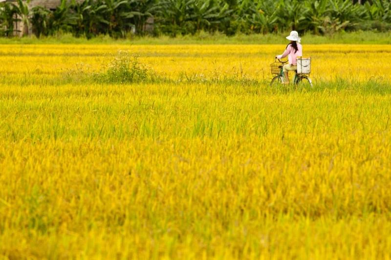 Cánh đồng lúa bên con đường đến trường