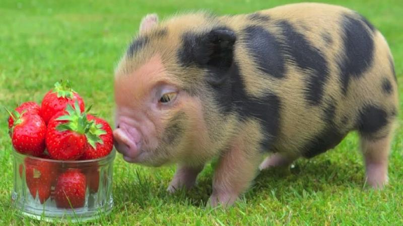 Chú lợn ủn ỉn nhà bác em