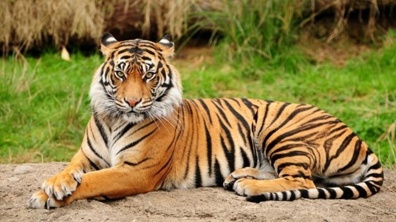 Con hổ trong vườn thú