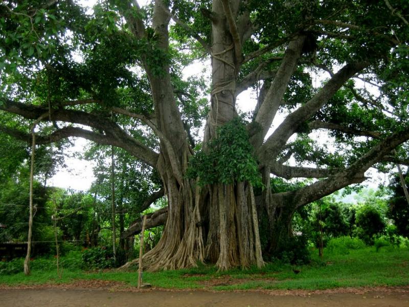 Dàn ý bài văn: Tả cây đa (bài số 3)