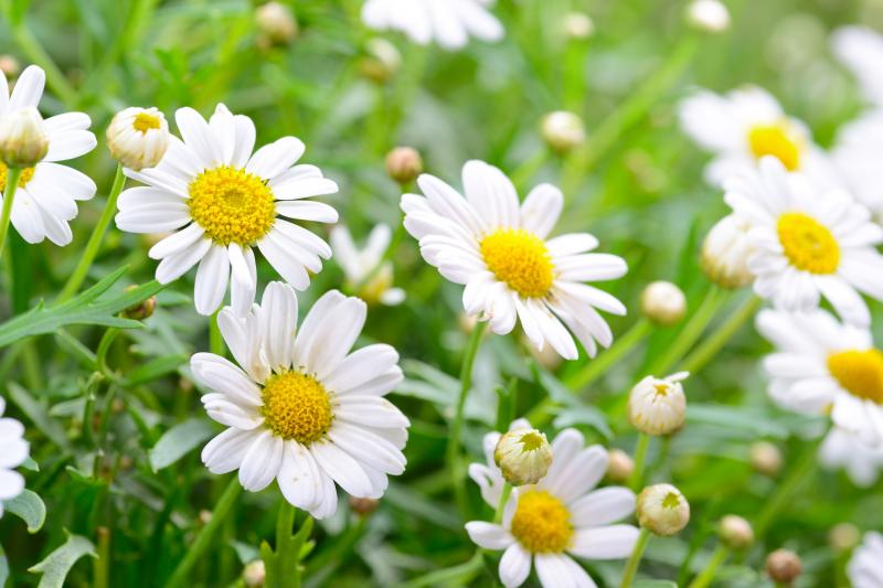 Dàn ý bài văn: Tả cây hoa cúc