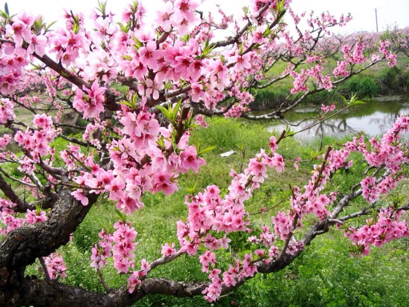 Dàn ý bài văn: Tả cây hoa đào ngày Tết