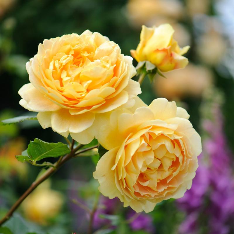 Dàn ý bài văn: Tả cây hoa hồng (bài số 8)