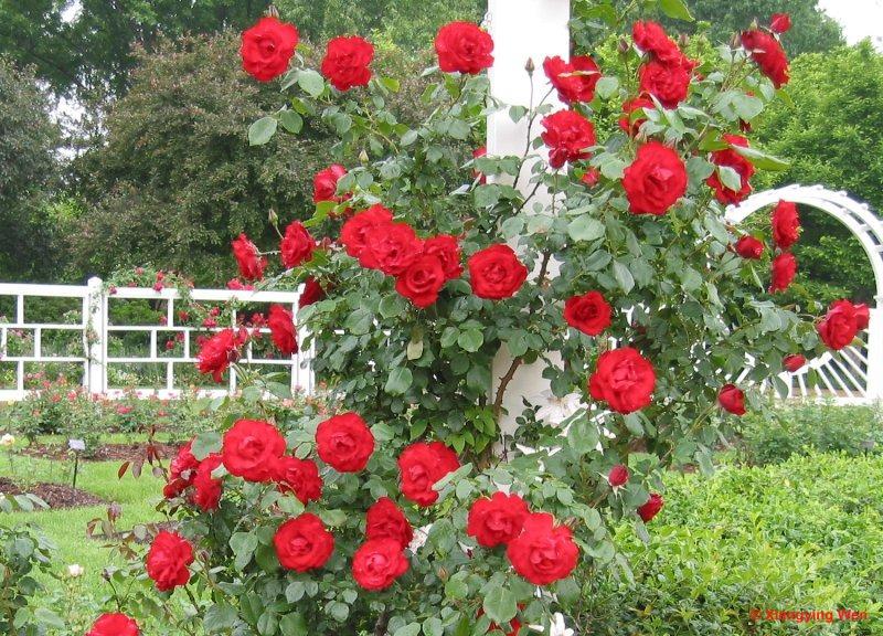 Dàn ý bài văn: Tả cây hoa hồng