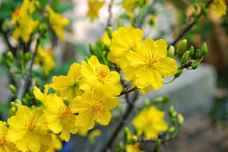 Dàn ý bài văn: Tả cây hoa mai ngày Tết