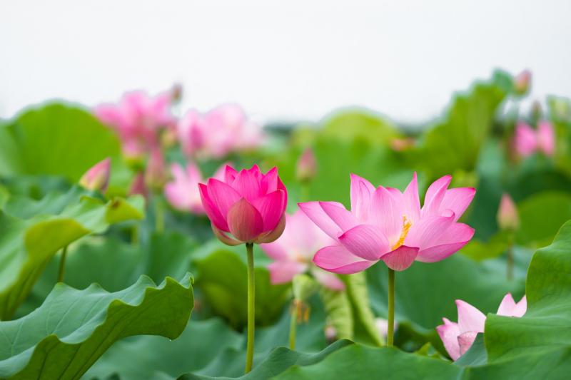 Dàn ý bài văn: Tả cây hoa sen