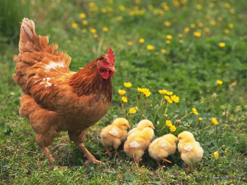 Dàn ý bài văn: Tả con gà mái