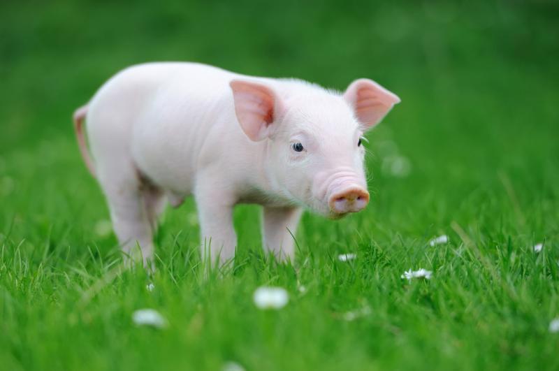 Dàn ý bài văn: Tả con lợn (bài số 12)