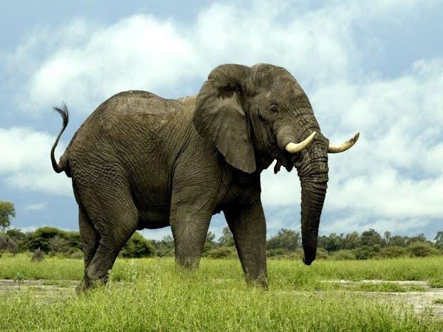 Dàn ý bài văn: Tả con voi