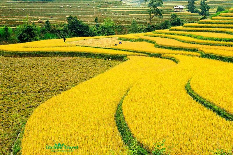 Lập dàn ý bài văn: Tả cánh đồng lúa chín số 1