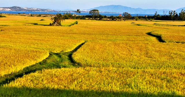 Lập dàn ý bài văn: Tả cánh đồng lúa chín số 2