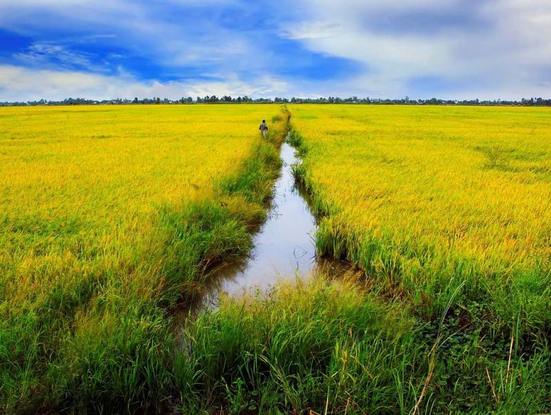 Lập dàn ý bài văn: Tả cánh đồng lúa chín số 3