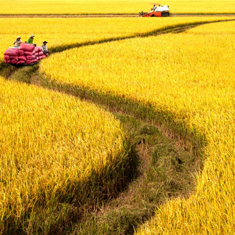 Lập dàn ý bài văn: Tả cánh đồng lúa chín số 4