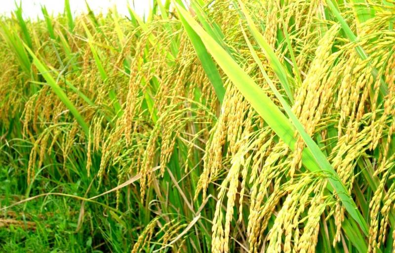 Lập dàn ý bài văn: Tả cánh đồng lúa chín số 5