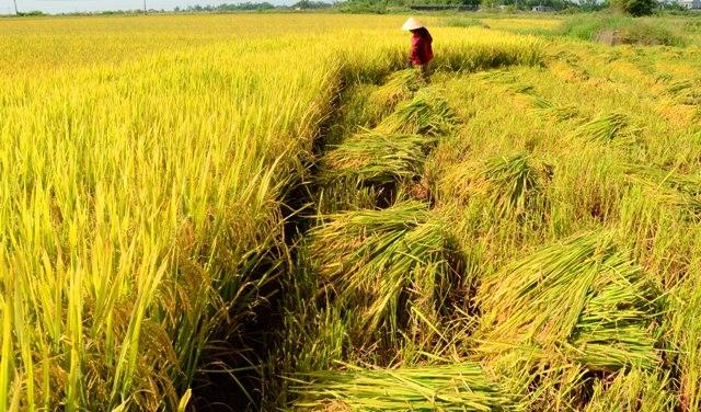 Lập dàn ý bài văn: Tả cánh đồng lúa chín số 7