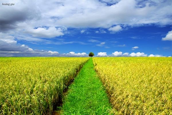 Ngắm cánh đồng lúa mỗi dịp về quê