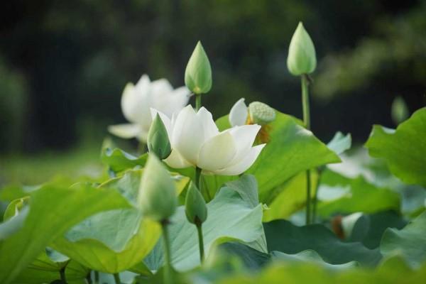 Bài văn tả cảnh đầm sen đang mùa hoa nở số 3