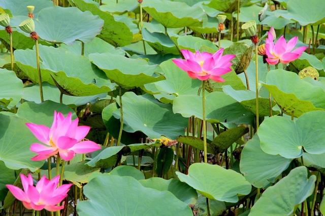 Bài văn tả cảnh đầm sen đang mùa hoa nở số 4